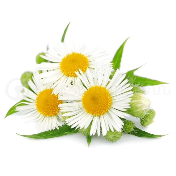 chamomile-brillina