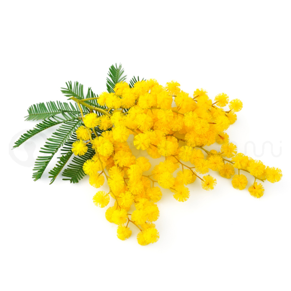 mimosa-top-gum