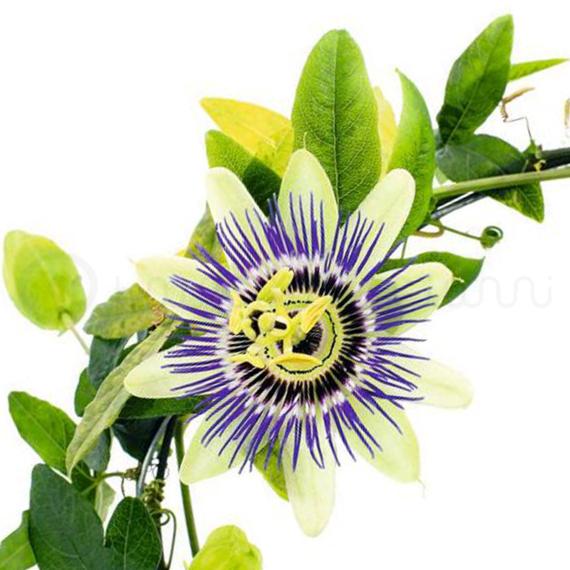 passiflora-riccioletto